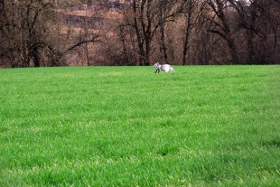 2013-03-15-04-Faux-Fox-in-a-field