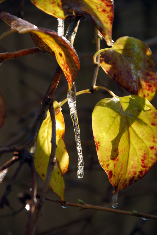 2014-11-13-23-frozen-leaves