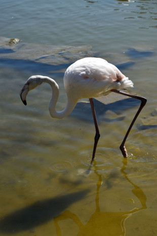2015-04-21-90-Killesburg-Park-flamingos